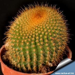 """Notocactus leninghausii """"brunispinus"""""""