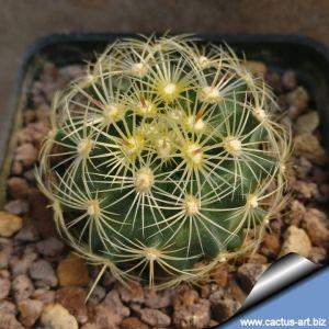 Thelocactus bicolor v. flavidispinus SB424 Brewster County, Texas, USA