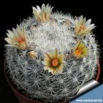 Mammillaria candida (Mammilloydia candida)
