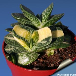 Gasteria minima variegata