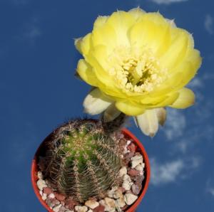 Lobivia aurea v. shaferi (Short spines)