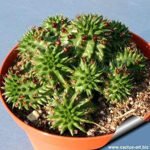 Euphorbia susannae