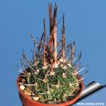 "Echinofossulocactus phyllanthus ""grandicornis"" SB437 Huizache, San Luis Potosi, Mexico"