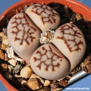 Lithops julii var. reticulata