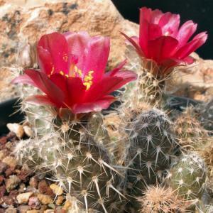 Pterocactus fischeri
