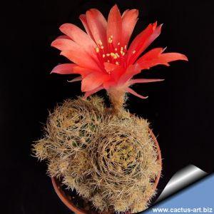 Lobivia schieliana cv. multiprolifera
