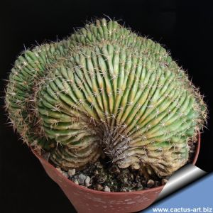 Lobivia sp. crestata