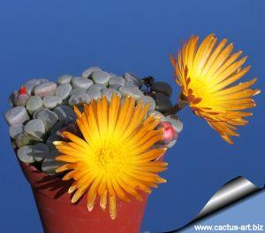 Fenestraria rhopalophylla cv. FIREWORTH (orange-yellow flowers)