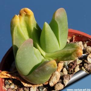 Gibbaeum esterhuyseniae