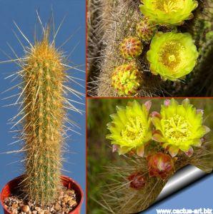 Bergerocactus emoryi San Vicente