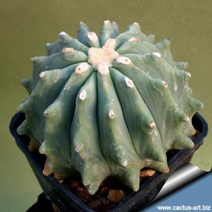 """Ferocactus glaucescens """"nudum"""""""