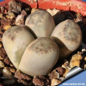 Lithops dinteri ssp friedericii C180 TL: 30 km NW of Pofadder, South Africa