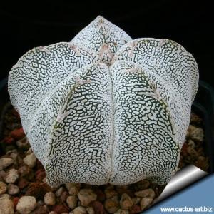 Astrophytum myriostigma cv. ONZUKA  (mixed patterns from seed)
