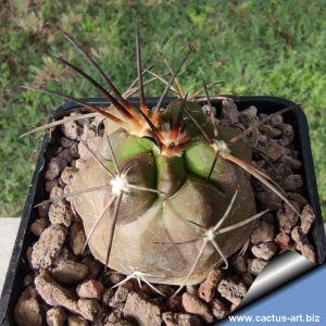 Copiapoa multicolor KK1391 Copiapo, Chile, 600m ( C. megarhiza v.?)