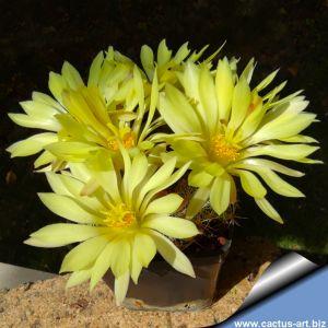 Mammillaria longimamma x sphaerica