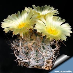 Astrophytum capricorne v. crassispinoides