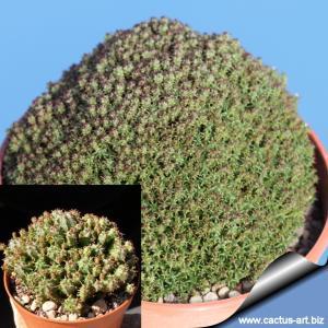 "Euphorbia perdorfiana ""multiprolifera"""
