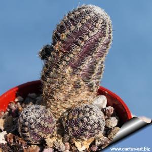 Rebutia pygmaea v. diersiana (Mediolobivia diersana)