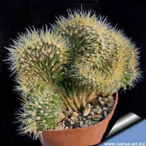 Ferocactus horridus v. albispinus f. cristata