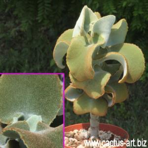 Kalanchoe beharensis (Pot Ø 10 cm)