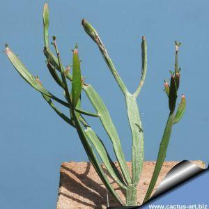 Euphorbia xylophylloides