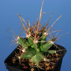 Ferobergia (Ferocactus x Leuchtenbergia)
