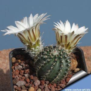 Echinocereus pulchellus v. sharpii SB1569
