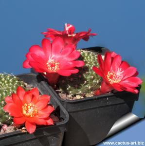 Rebutia marsoneri (multihybrid) mixed colours
