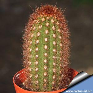 Cleistocactus cv. dark amber spines