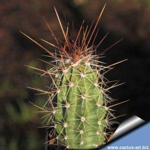 Echinocereus sarissophorus (Echinocereus enneacanthus v. sarissophorus)