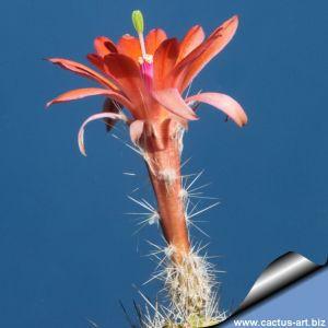 Echinocereus scheerii v. obscurensis
