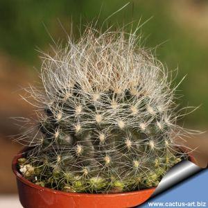 Eriosyce nidus v. gerocephala