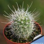 Mammillaria setispina (Cochemiea setispina)
