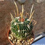 Echinofossulocactus erectocentrus SB286 (Echinofossulocactus papyracanthus) Doctor Arroyo, Nuevo Leon, Mexico