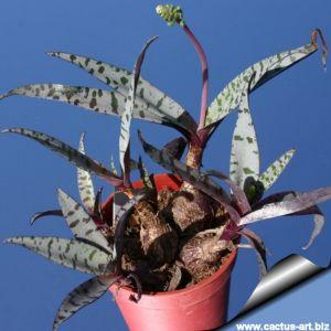 Ledebouria violacea (Scilla violacea)