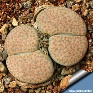 Lithops fulviceps v. lactinea C222 TL 100 km West-South-West of Keetmanshoop, Namibia