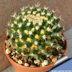 """Mammillaria eichlami """"lana dorata"""" (yellow wool)"""