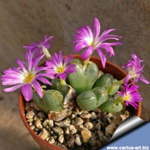 Conophytum violaciflorum, Springbok, Northern Cape, South Africa.
