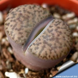 Lithops bromfieldii v. insularis Keimoes, Northern Cape, South Africa.