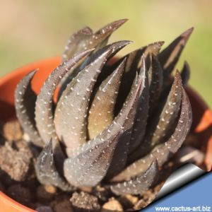 Haworthia baccata ISI1567, 9 miles Southwest of Stutterheim, Cape Province, South Africa