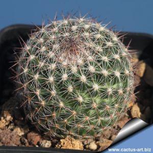 Escobaria tubercolosa