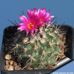 Gymnocactus viereckii (syn: Turbinicarpus viereckii)