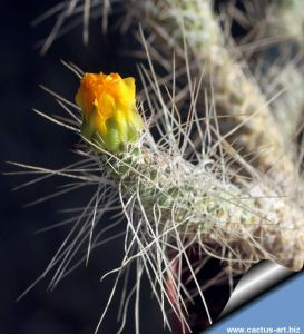 Tephrocactus weberi v. dispar