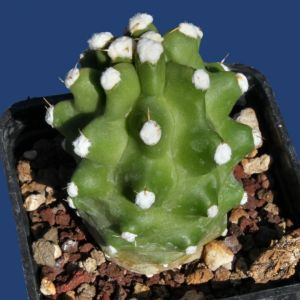 Echinocereus triglochidiatus v. mojavensis f. inermis