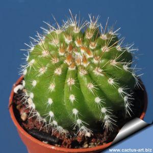 Notocactus muegelianus HU82