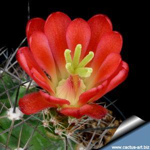 Echinocereus coccineus v. paucispinus