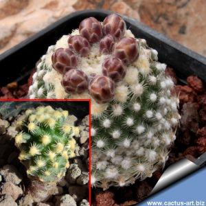 Pediocactus knowltoni SB304, San Juan County, New Mexico, USA