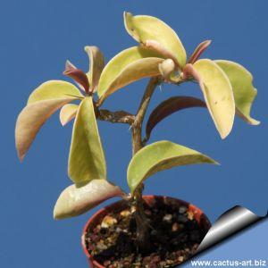 Pereskia aculeata cv. godseffiana
