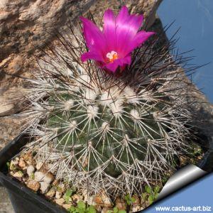 Gymnocactus horripilus SB168 Metztitlan, Hidalgo, Mexico  (syn: Turbinicarpus horripilus)