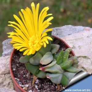 Glottiphyllum lingueforme Klein Doringrivier